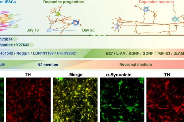 Overview of differentiation protocol and identification of the iPSCs-derived human-like dopaminergic neurons at early stage of differentiation.